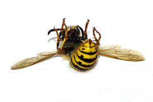 European wasp ROFL